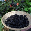 Blackberry 'Reuben'